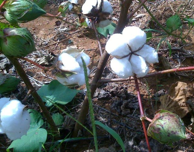 cotton burst
